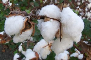 Final chance to apply for European Fair Cotton Procurement Awards